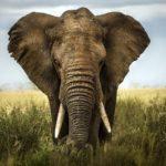 red elephant kratom